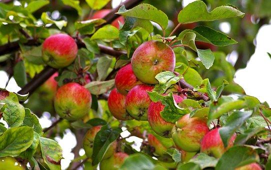 Apple, Apple Tree, Harvest, Pome Fruit, Fruit, Autumn