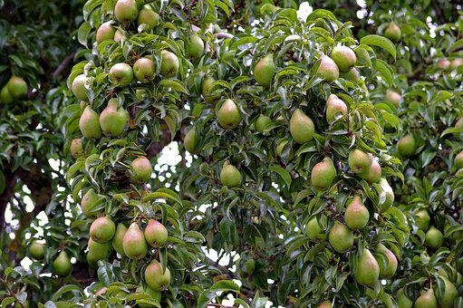 Pears, Pear, Harvest, Pome Fruit, Fruit, Autumn, Red