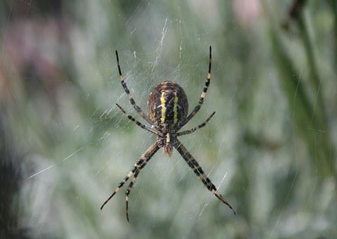 Wasp Spider, Spin, Insect, Yellow, Nature, Network
