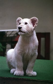 White Lion, Cub, Lion, White, Mammal, Animal, Baby