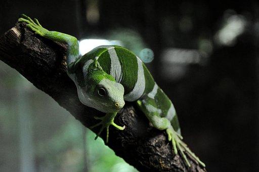 Fiji Iguana, Iguana, Lizard, Reptile, Striped, Green