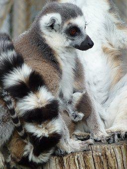 Longleat, Lemur's, Mother And Baby, Cuddles