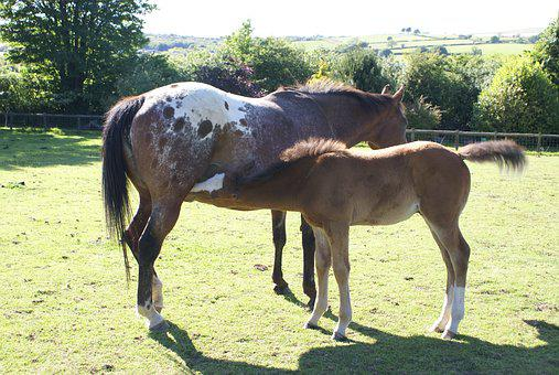 Mare, Foal, Appaloosa, Horse, Pasture, Animal, Mammal