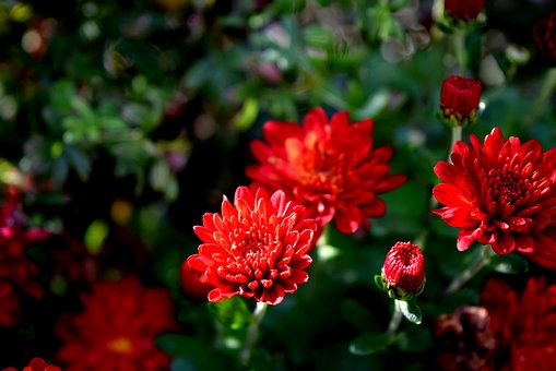 Plant, Flower, Mum, Red, Bloom, Annual