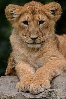 Lion, Cub, Animal, Nature, Mammal