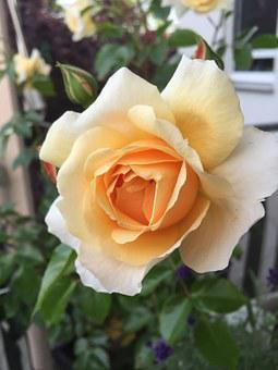 Rose, Bright Yellow, Pale Yellow Rose, Nature, Blossom