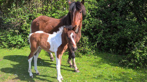 New Forest Ponies, Pony, Mother And Foal
