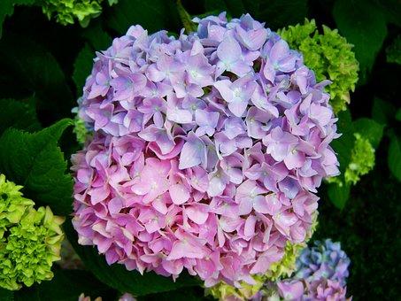 Pale Lilac-pink Hydrangea, Flower Garden, Summer Flower