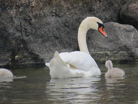 Swan, Cub, Parent, Gray, White, Stone, Water, Sea