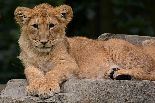 Lion, Cub, Animal, Nature, Mammal, Feline, Predator