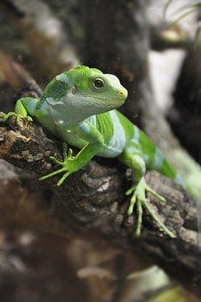 Fiji Iguana, Iguana, Lizard, Reptile, Iguanas, Nature