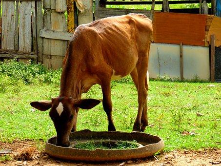 Boi, Calf, Veal, Farm, Rural, Animal, Roça, Cattle