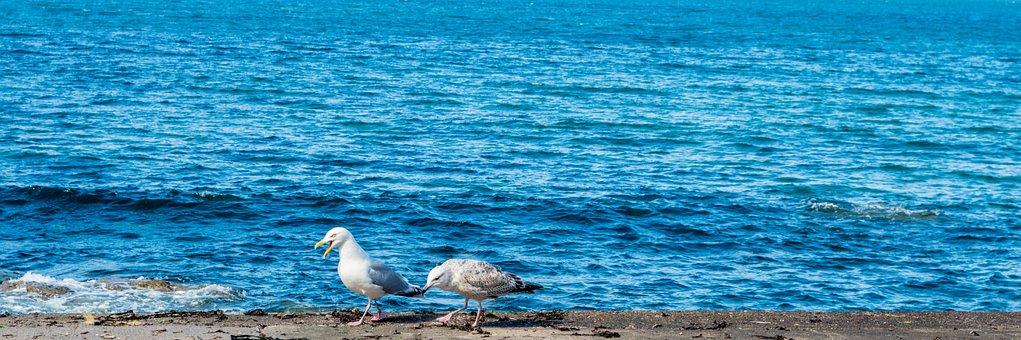 Sea, Blue, Gulls, Mother, Bird, Birds, Seagull, Water