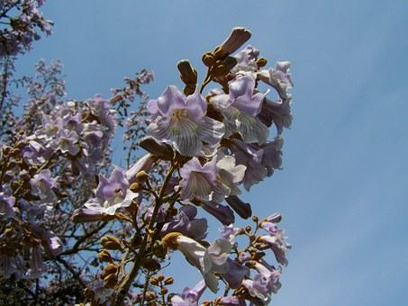 Emperor Flowering Tree, Pale Lilac Flower, Spring