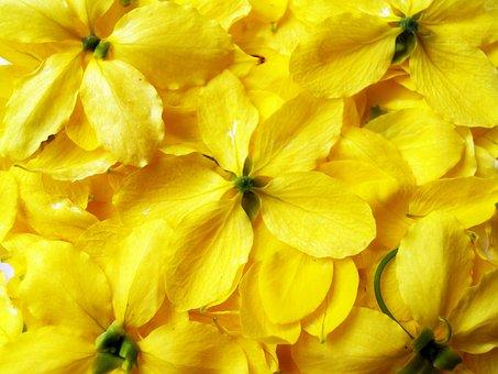 Cassia, Shower, Golden, Tree, White, Summer, Blossom
