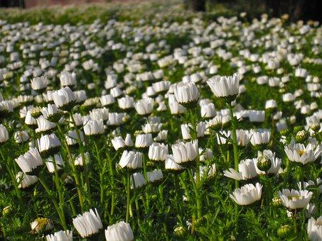 Daisy, Margaret, Early Morning, Flowers, White