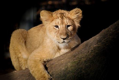Lion, Baby, Young, Cute, Animal, Nature, Wildlife