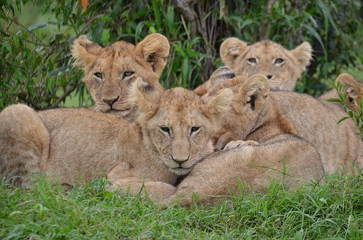 Nature, Africa, Wildlife, Kenya, Lions, Lion Cubs