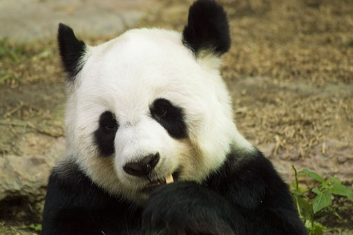 Panda, Cub, Wildlife, Zoo, Cute, China, Mammal, Nature