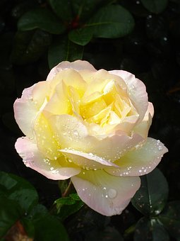 Flower, Yellow Noble Rose, Bloom With Purple Border