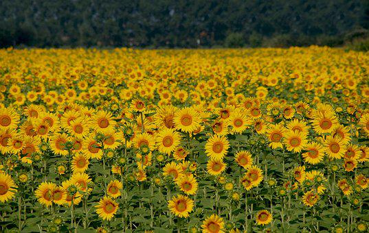Sunflowers, Field, Italy, Yellow, Flower, Nature, Sun