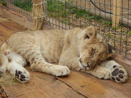 Animal, The Lion, Cub, Zoo, Lion Cub
