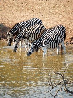 Zebra, Addo Elephant Park, South Africa, Drinking