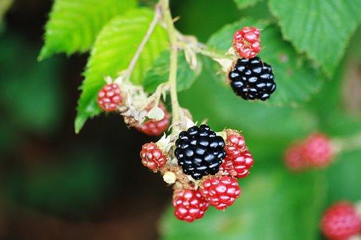Blackberries, Fruit, Garden, Semi Mature, Edible