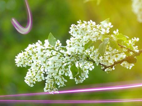 Grape Blossom, Tree, Blossom, Bloom, Plant, Laser Beams