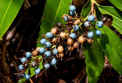 Native Ginger, Ginger, Berries, Fruit, Blue, Brown