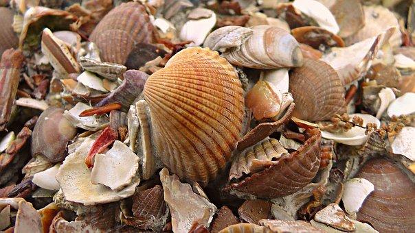 Seashells, Cockle, Sea, Ocean, Marine, Beach, Aquatic