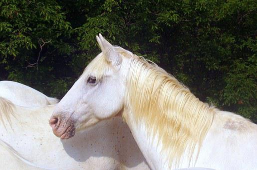 Horse, White, Animal, Crin, Eyes, Docile, Ears