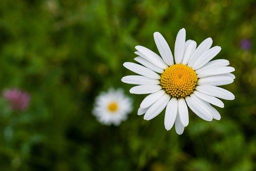Daisy, Flower, White, Summer, Chamomile, White Flowers