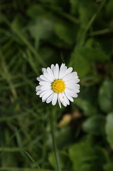 Chamomile, Daisy, Flower, Meadow, White, Sunny