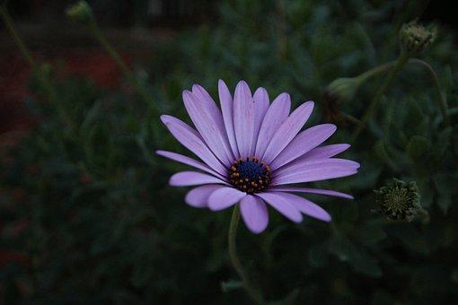 African Daisy, Flower, Nature, Purple Petals
