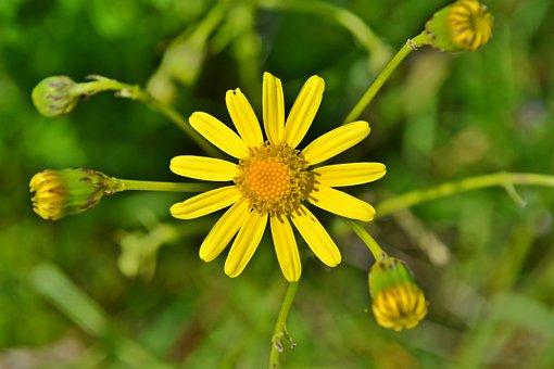 Flowers, Yellow, Yellow Flowers, Chamomile