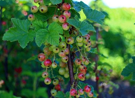 Currants, Ribes, Gooseberry Greenhouse, Currant, Red