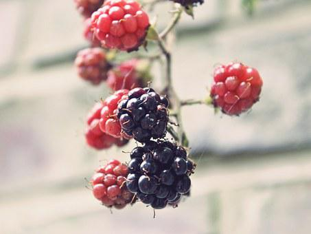 Blackberries, Bramble, Bush, Berry, Immature, Red