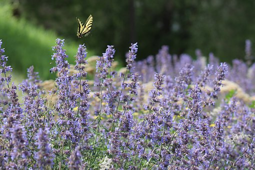 Lavender, Purple, Flower, Flowers, Insect, Butterfly
