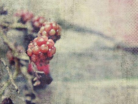 Blackberries, Immature, Red, Fruit, Berries, Nature