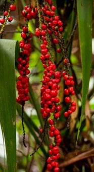 Red Fruited Palm Lily, Cordyline Rubra, Plant