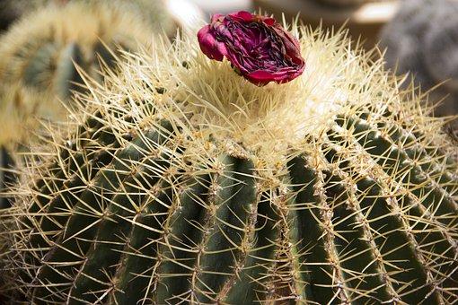 Cactus, Plant, Cacti, Nature, Flower, Floral, Desert