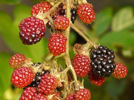 Blackberries, Berries, Fruits, Immature, Semi Mature