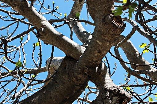 Fig Tree, Leaves, Autumn, Shrubs, Nature, Figs, Nudity