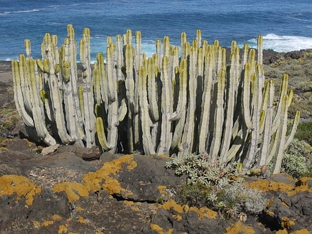 Spurge Family, Tenerife, Similar To Cacti, Succulent