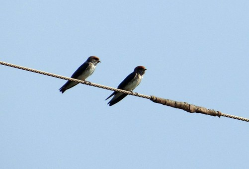 Indian Cliff Swallow, Bird, Swallow, Hirundo Fluvicola