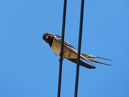 Swallow, Cables, Lookout, Observe, Oreneta