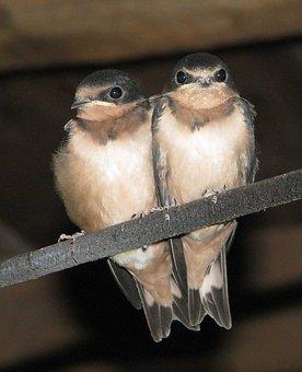 Barn Swallow, Swallowlings, Juveniles, Hirundo Rustica