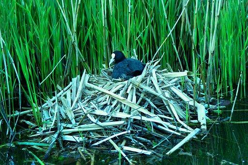 Bird, Water Fowl, Coot, Nest, Nesting, Water