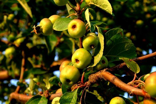 Wild Apple, Wild Growth, Fruits, Nature, Edible, Tasty